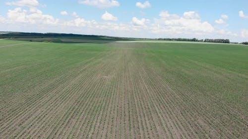 Corn green field