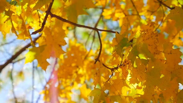 Thumbnail for Colorful Leaves In The Fall With A Sunflare