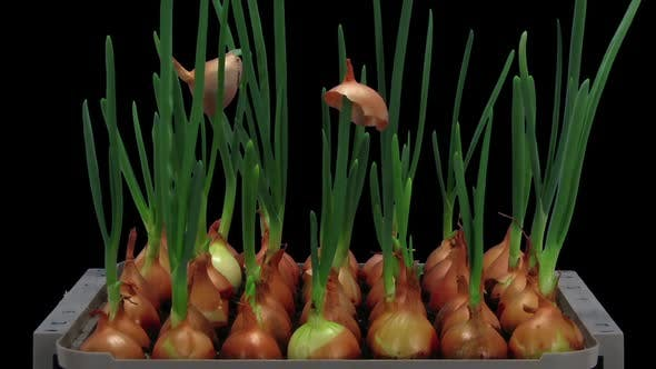 Time-lapse of growing onions