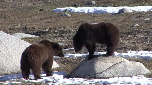Grizzly Bear Immature Pair Bears Playing Play Sparring in Spring Rock