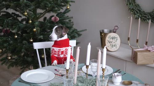 Small Pedigree Dog in Merry Sweater at Family Dinner Table with Candles and Xmas Decorations