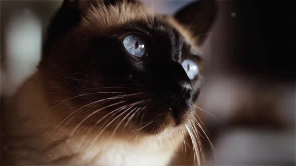 Thumbnail for Siamese Cat with Blue Eyes Looking Up.