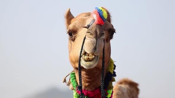 Thumbnail for Camels at the Pushkar Fair, Also Called the Pushkar Camel Fair or Locally As Kartik Mela