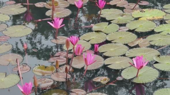 Thumbnail for Lotus