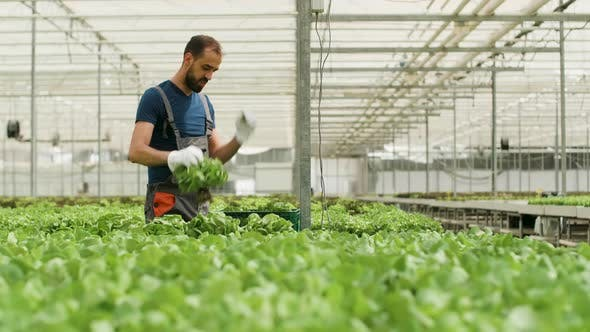 Thumbnail for Farm Worker Harvesting Organic Green Salad in a Box