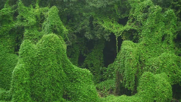 Ivy Covered Real Jungle Trees and Natural Dense Vegetation in Tropical Rain Forest