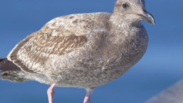 Thumbnail for A gray seagull rests near the Pacific Ocean.
