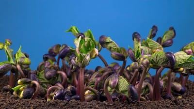 Beans Germination on Blue Background
