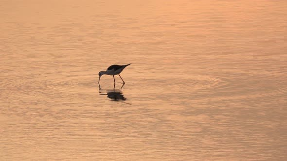 Thumbnail for Lonely Bird Is Walking on the Shallow Water an Catching Fish in the Evening on the Sea Beach