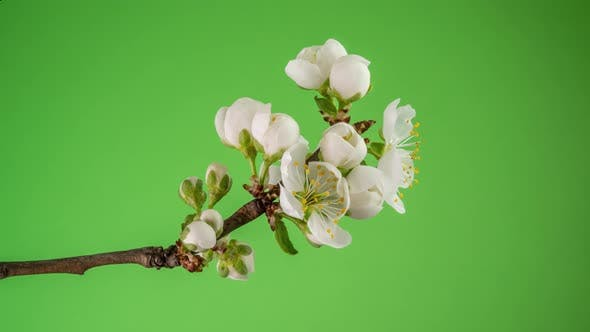 Thumbnail for Blossoming Apple-tree Time Lapse on Green Background