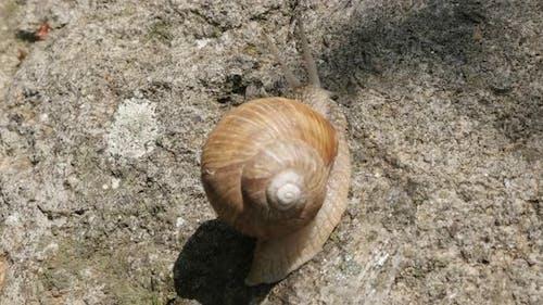 Escargot Helix pomatia  in the shell  shallow DOF 4K 2160p 30fps UltraHD footage - Close-up Roman sn
