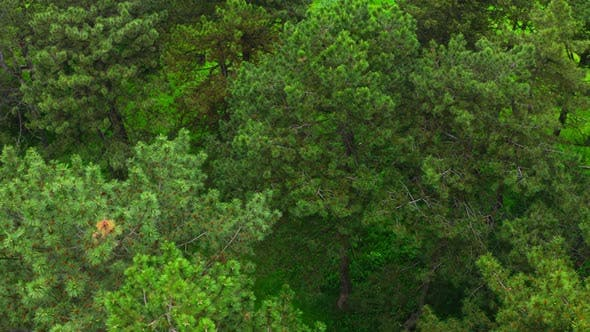 Cover Image for Aerial View Pine Forest