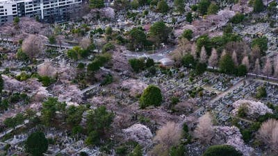 time lapse of cherry blossom in Aoyama cemetery in Tokyo, Japan