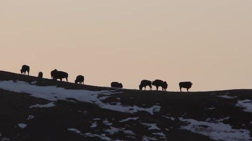 Bison aka Buffalo Herd Standing in Winter on Hill Skyline Ridgeline Silhouette