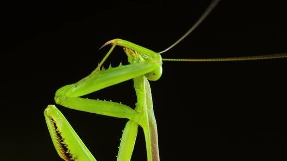Thumbnail for Macro Praying Mantis Cleaning