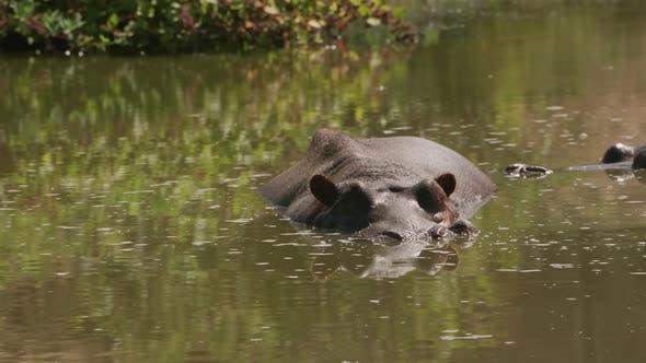 Thumbnail for Hippopotamus in pond at wildlife park