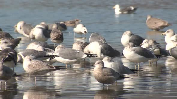 Thumbnail for Ring-billed Gull Adult Young Flock Many Resting Bay Estuary in California