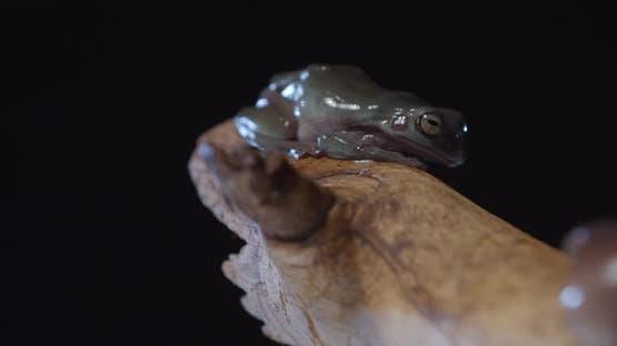 Australian Tree Frog on a Tree Branch in the Studio Wildlife Amphibian