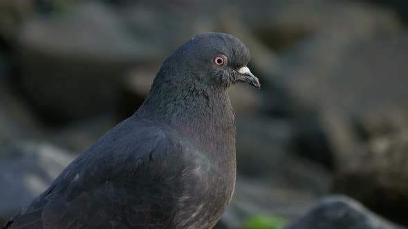 Thumbnail for Pigeon Eating at Rock Near the River