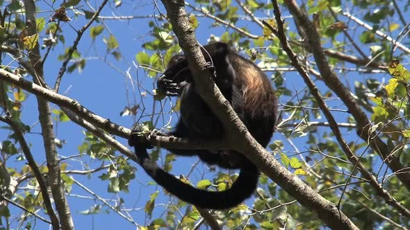 Thumbnail for Black Howler Monkey Mother and baby