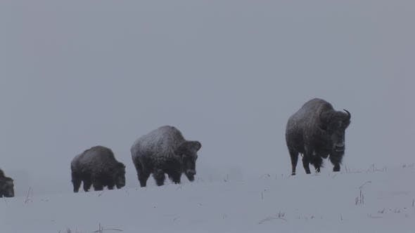 Thumbnail for Bison Cow Female Adult Herd Many Walking Moving in Winter in South Dakota