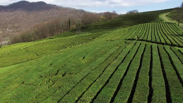Thumbnail for Top View From Drone Camera on a Tea Plantations in Daytime