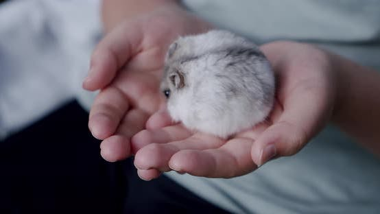 Thumbnail for Gray Hamster Sitting on the Hands of a Little Girl. Close Up V2