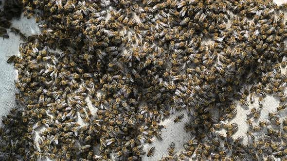 Thumbnail for A Swarm of Bees Crawling, Macro Shot in, A Colony of Bees Crawling on a White Background