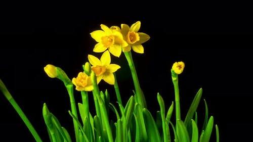 Yellow Daffodils Bloom