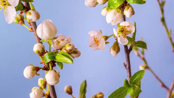 Time lapse video of the blossoming of white petals of a cherry flower.