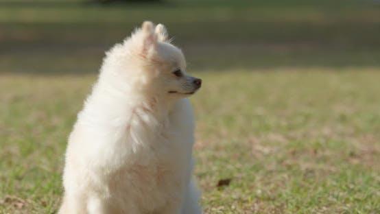 Thumbnail for White pomeranian sitting on the green lawn