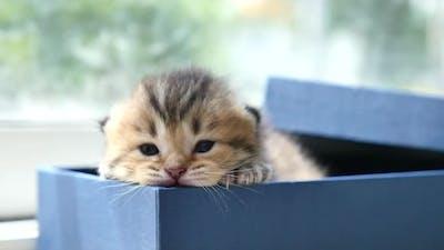 Cute Persian Kitten Sitting In A Gift Box