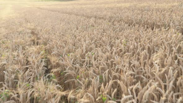 Common wheat field crops before sunset 4K drone footage