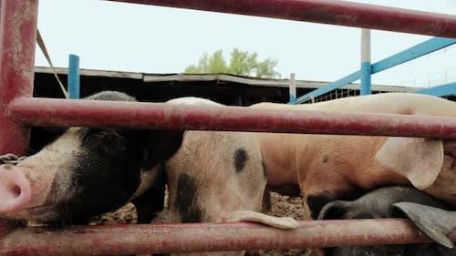 Pig Farm Many Pigs Near the Fence