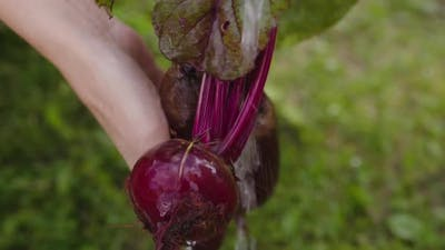 Farmer Washes a Bunch of Beets in the Garden