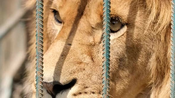 Angry Lion in a Cage at the Zoo
