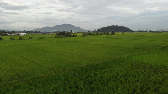 Fly in paddy field in Malaysia