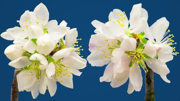 Almond Flower Blossom Timelapse on Blue