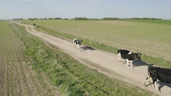 Thumbnail for Curious Animal. Crowd of Cattle Walking on the Countryside road