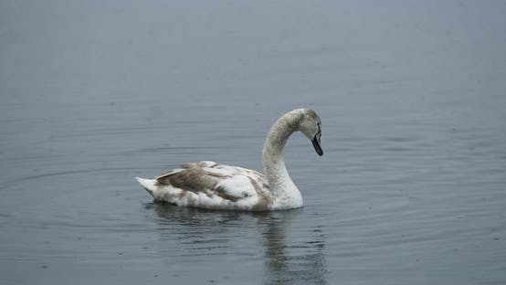 Thumbnail for A swan swimming