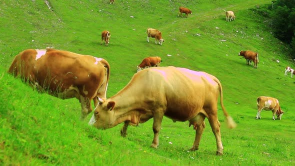 Thumbnail for Cows grazing grass on the pasture