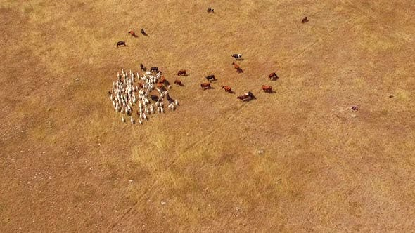 Thumbnail for A Herd of Goats Passes Through a Herd of Cows