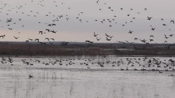 Waterfowl Flock Many Ducks Flying Taking Off in Louisiana in Slow Motion