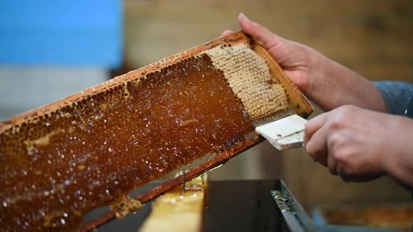 Thumbnail for Beekeeper Removes Excess Beeswax with the Scraper By Hand, Preparing for Pumping Honey. Beekeeper