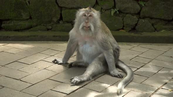 Macaque au repos dans un parc
