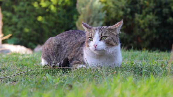 A Cat Peacefully Sits in a Garden on a Sunny Day and Looks Around.