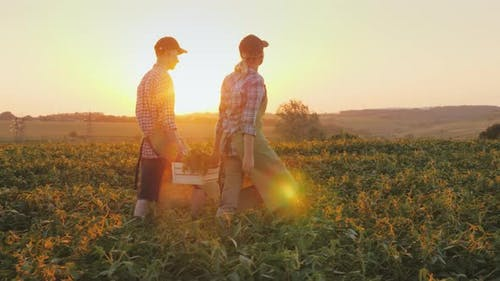 Two Farmers Carry a Box of Vegetables, Go Across the Field at Sunset. Organic Farming and Healthy