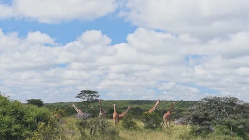 Landscape view of wild giraffes walking and eating in the bush, Kenya, Africa