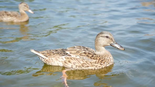 Thumbnail for Duck Swimming In Fresh Water On A Sunny Day