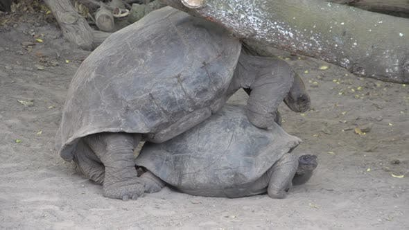 Thumbnail for The Galápagos tortoise trying to escape under a tree